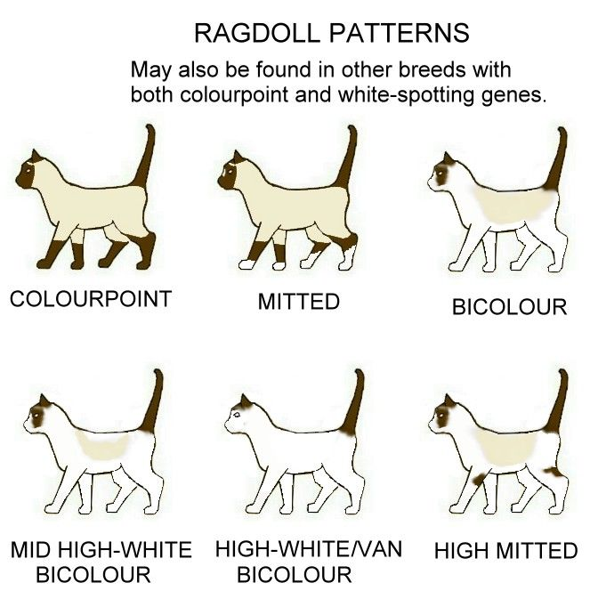 Colour And Pattern Charts Ragdoll Cat Ragdoll Ragdoll Kitten
