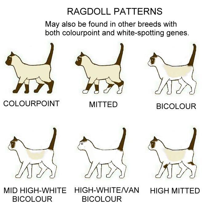 Colour And Pattern Charts Ragdoll Cat Ragdoll Kitten Ragdoll