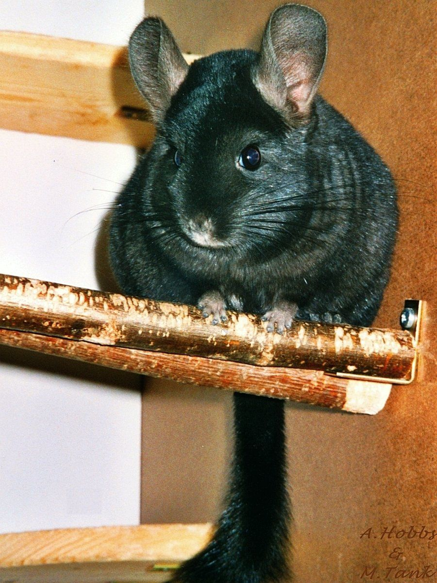 I have a pet Chinchilla named Millie (With images