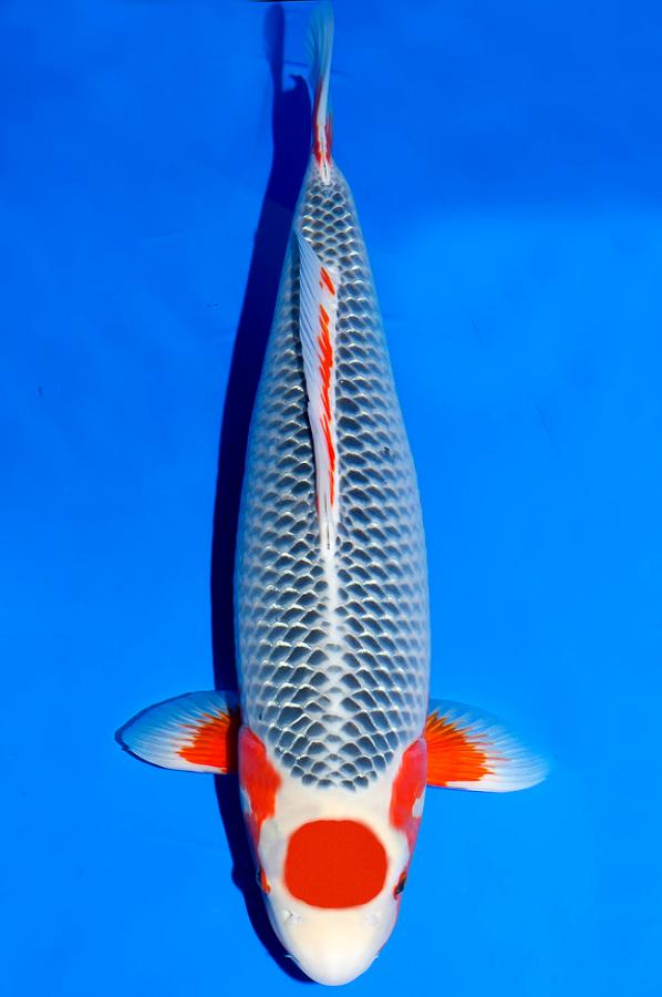 Tancho Asagi Koi Fish Koi Fish Pond Koi