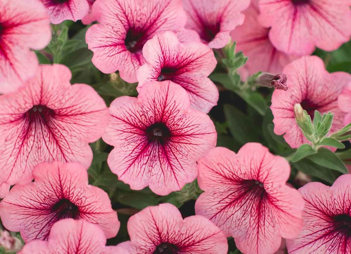 14 Long Lasting Flowers For Your Yard Petunia Flower Long Lasting Flower Petunias
