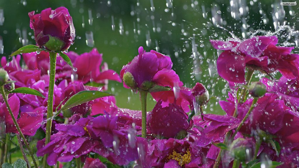 Flowers in the rain wallpaper april showers pinterest nature flowers in the rain flowers in the rain wallpaper nature wallpapers thecheapjerseys Gallery