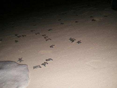 Visit Grand Riviere Beach, Trinidad to see the turtle hatchlings make their way back to the ocean