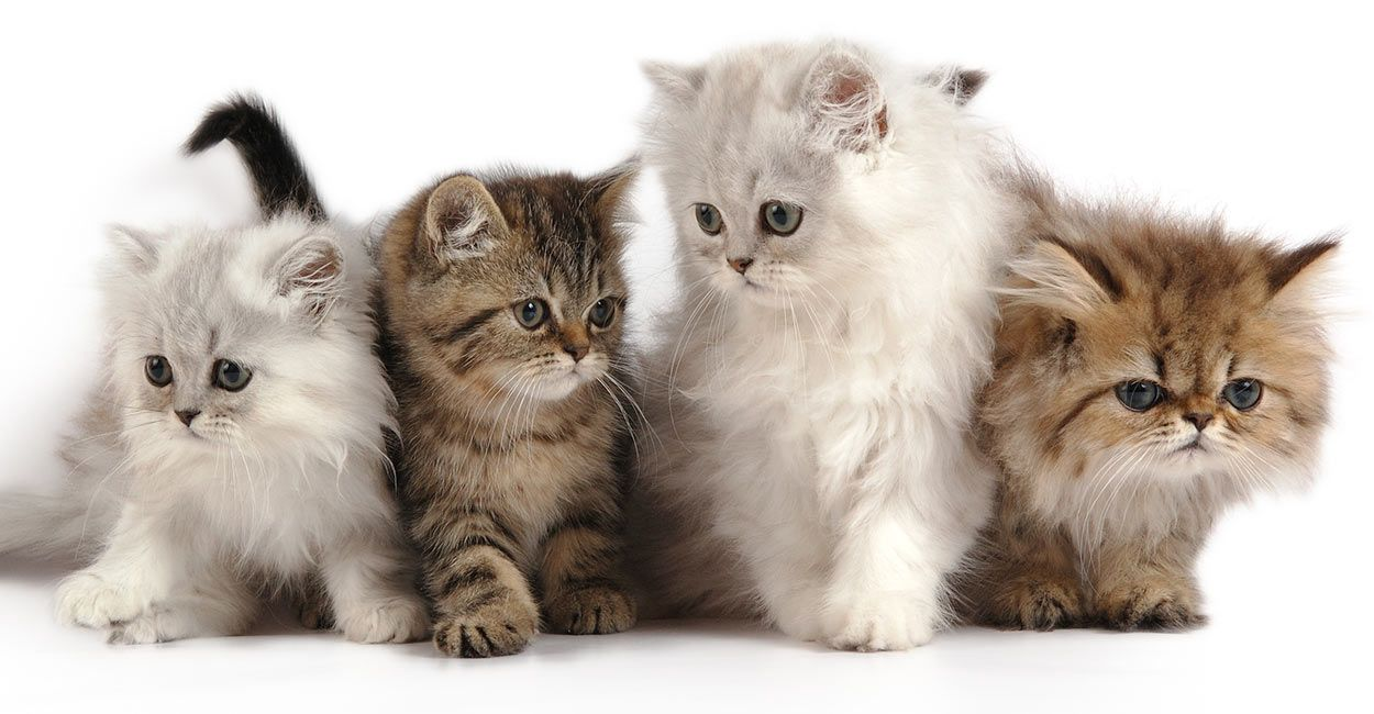 Persian Cat Names Over 200 Ideas! (With images