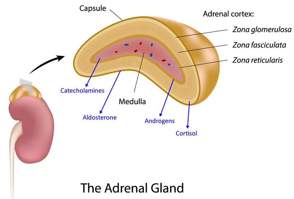 Adrenal Gland Diagram Google Search Zoology Pinterest