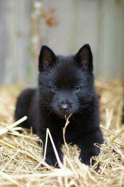 Awww Cute Little Black Wolf 3 Schipperke Puppies