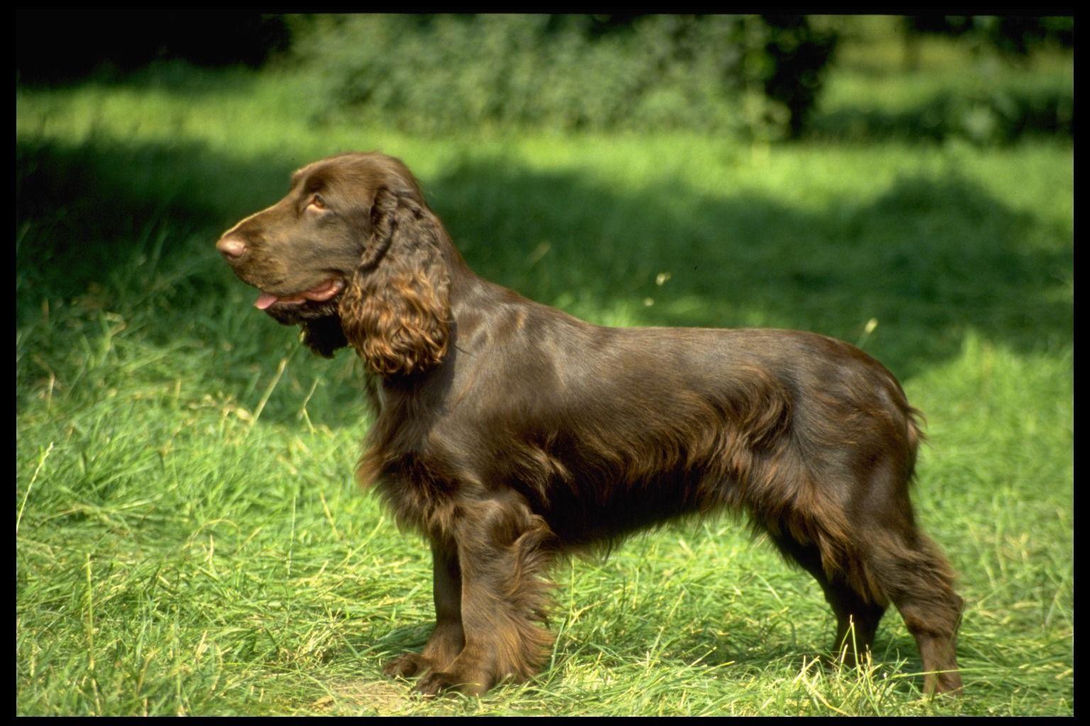 Field Spaniel Hundar