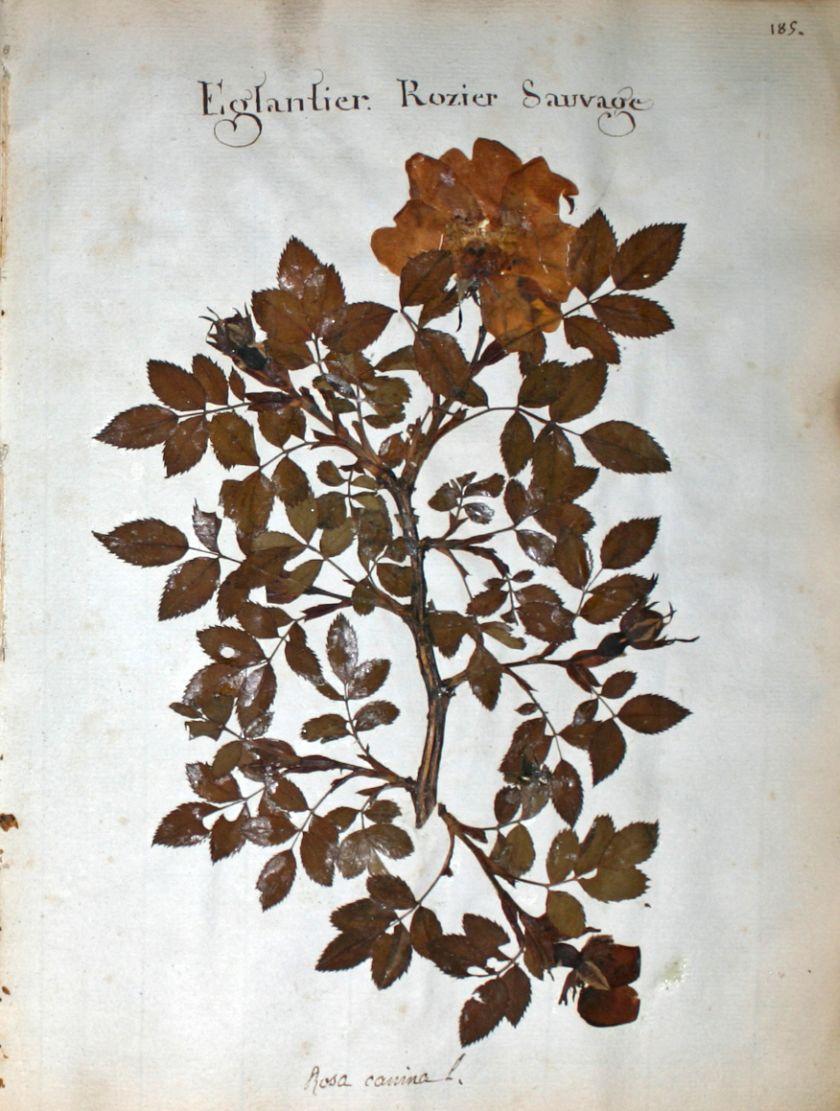 fleurs herbier - fleurs herbier - eglantier - rosier sauvage