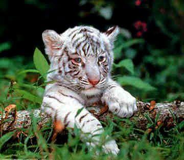 adorable white tiger cub | Tigers | Pinterest | Tiger cubs, Babies ...