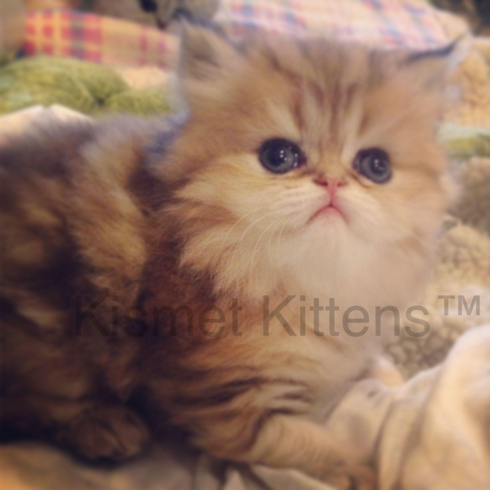 For Sale Golden Shaded Kitten Female. Ready to Go 09/11