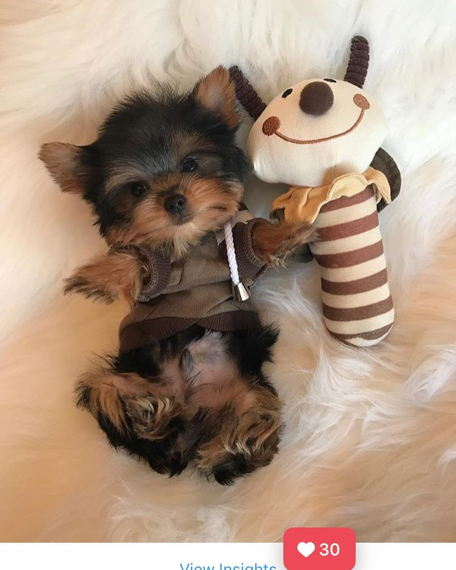 4 272 Likes 43 Comments Woof Woof Puppies Boutique Woofwoofpuppies On Instagram Teacup Male Yorkshire Terrier Puppies Yorkie Puppy Cute Baby Animals