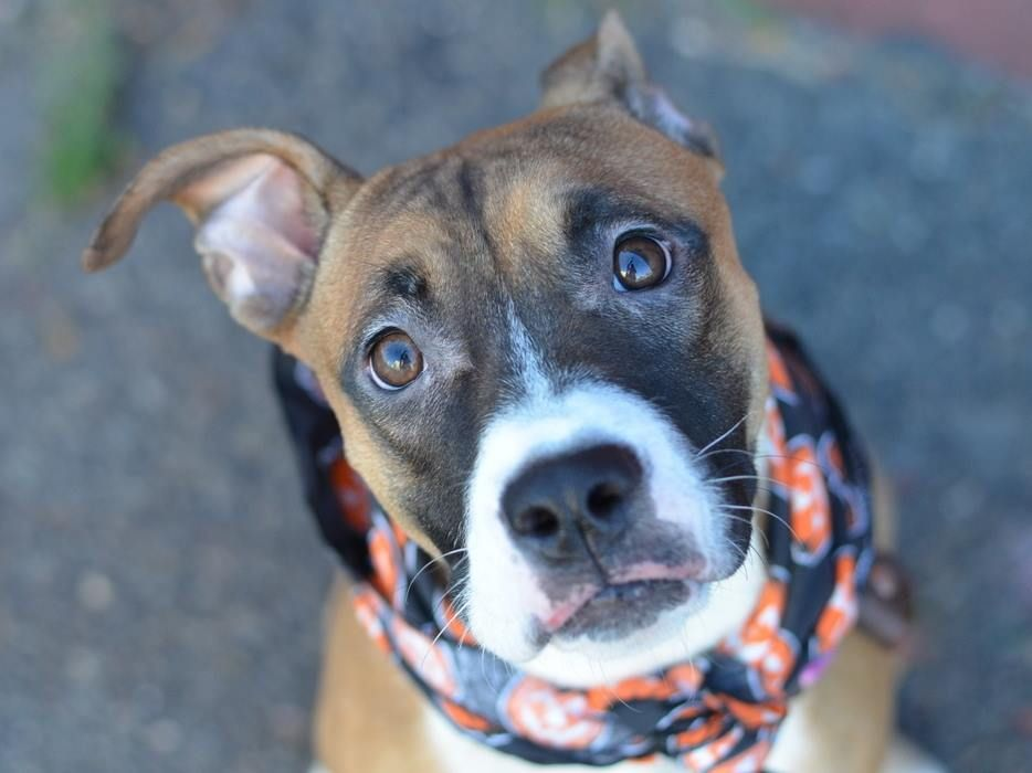 SAFE --- Brooklyn Center  MOCHA - A1017812  FEMALE, BROWN / WHITE, BOXER MIX, 7 mos STRAY - STRAY WAIT, NO HOLD Reason STRAY  Intake condition EXAM REQ Intake Date 10/17/2014, From NY 11203, DueOut Date 10/20/2014,  https://www.facebook.com/photo.php?fbid=890606757618871