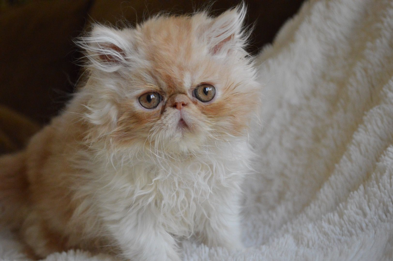Persian Cats For Sale Mercer, PA Persian cats for sale