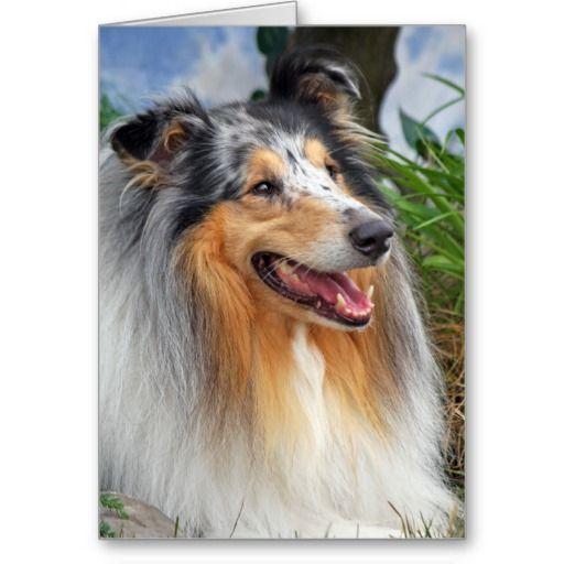 Rough Collie Dog Beautiful Photo Blank Note Card Zazzle Co Uk Sheep Dog Puppy Collie Dog Beautiful Dogs