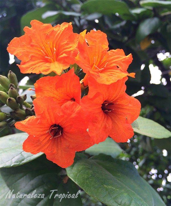 Flor de cordia sebestena fotograf as de la naturaleza en for Viveros plantas ornamentales colombia