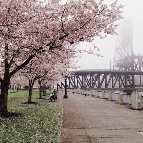The cherry blossoms are  (at Tom McCall Waterfront Park)