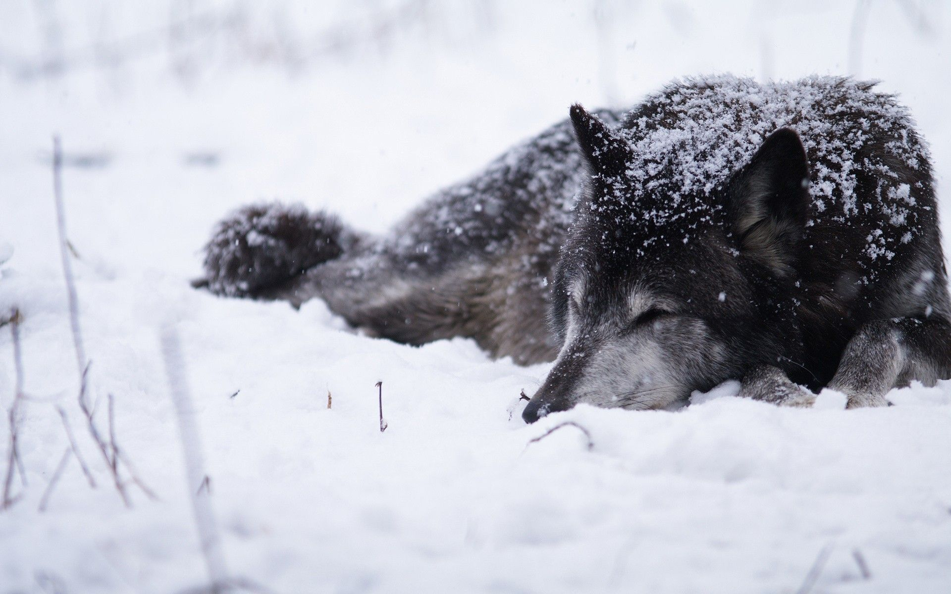 60 Snow Wolf Wallpapers Download at WallpaperBro (With