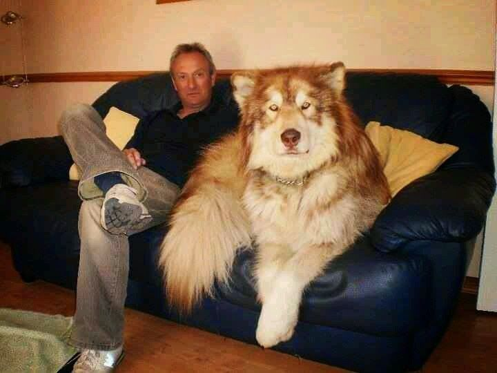 5 Most Amazing Wolf Hybrid Dogs You Have Ever Seen Pets