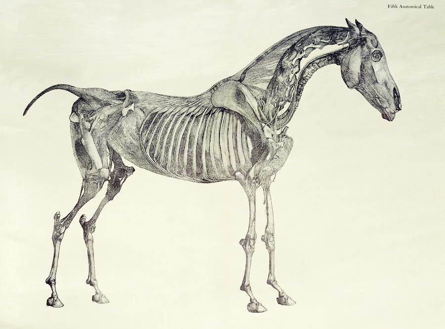 the-anatomy-of-the-horse-george-stubbs.jpg (900×665) | stubbs ...