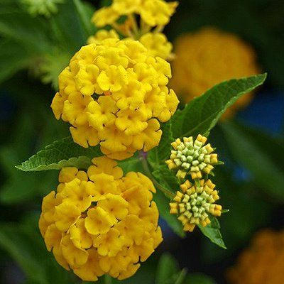 Lantana Goldsonne Lantana Camara Butterflies Will Swarm Over Your Plantings Of This Bright Yellow Summer Flower Great For Cont Hummingbird Plants Lantana Plant Landscaping Plants