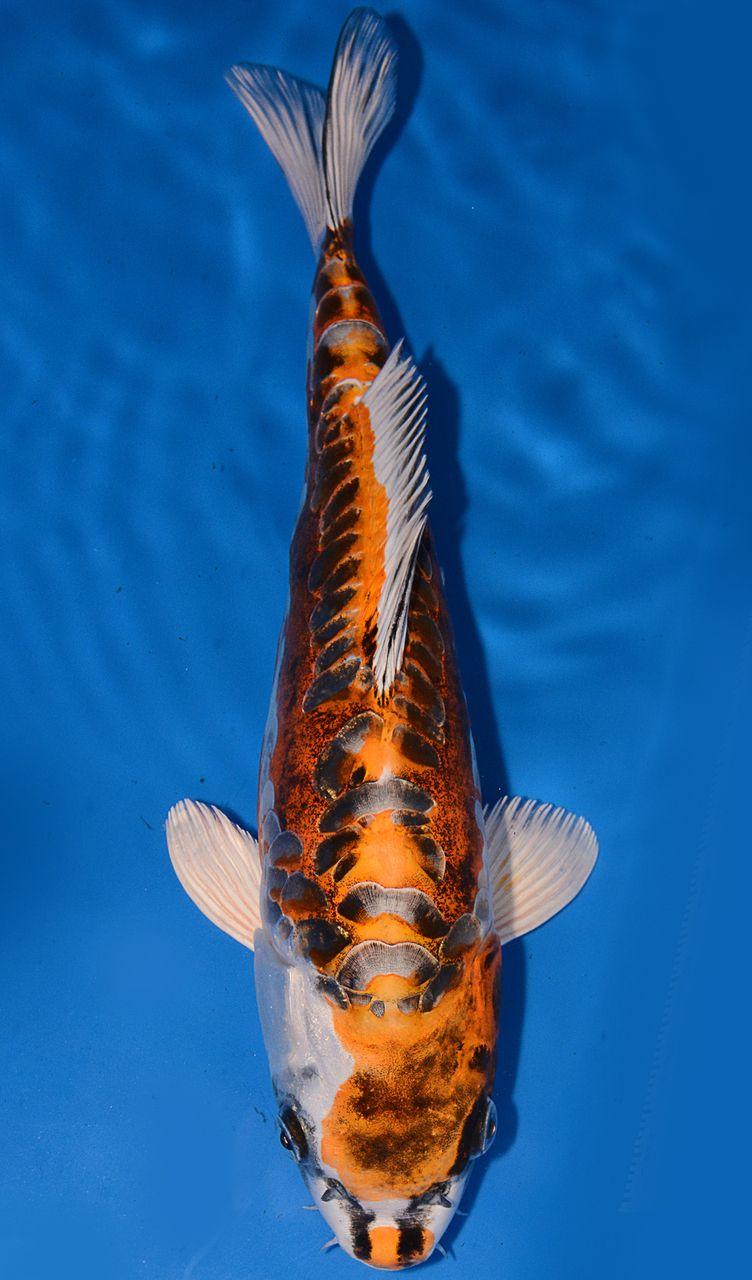 13 Doitsu Kujaku 6548p2 Koi Fish Koi Koi Carp