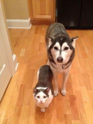 Ce chat et ce Husky semblent de la même famille