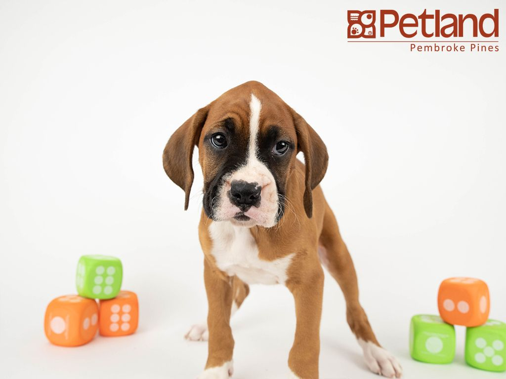 Petland Florida has Boxer puppies for sale! Interested in