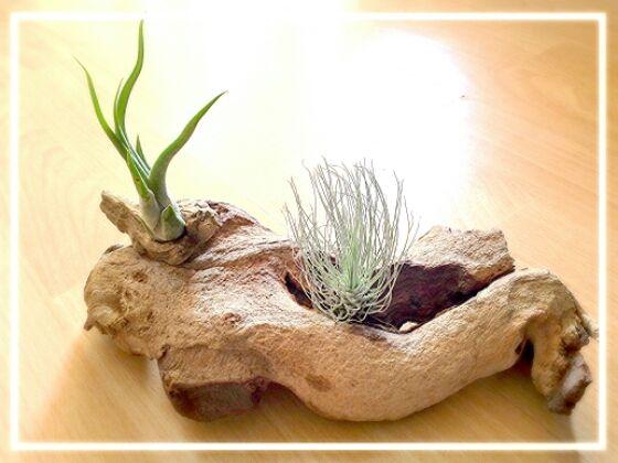 tillandsien auf naturholz tillandsias terrarium pinterest naturholz gartentr ume und. Black Bedroom Furniture Sets. Home Design Ideas