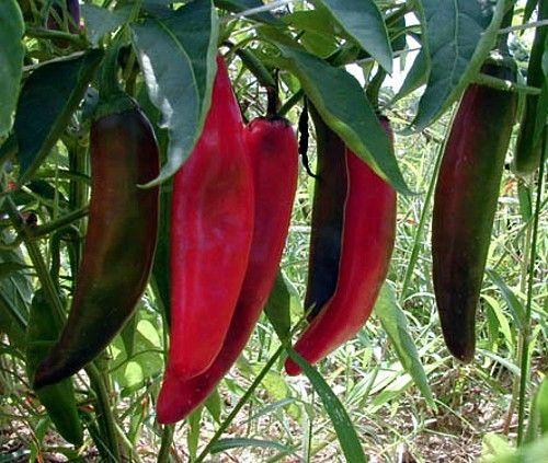 15 Samen Capsicum annuum Jalapeno