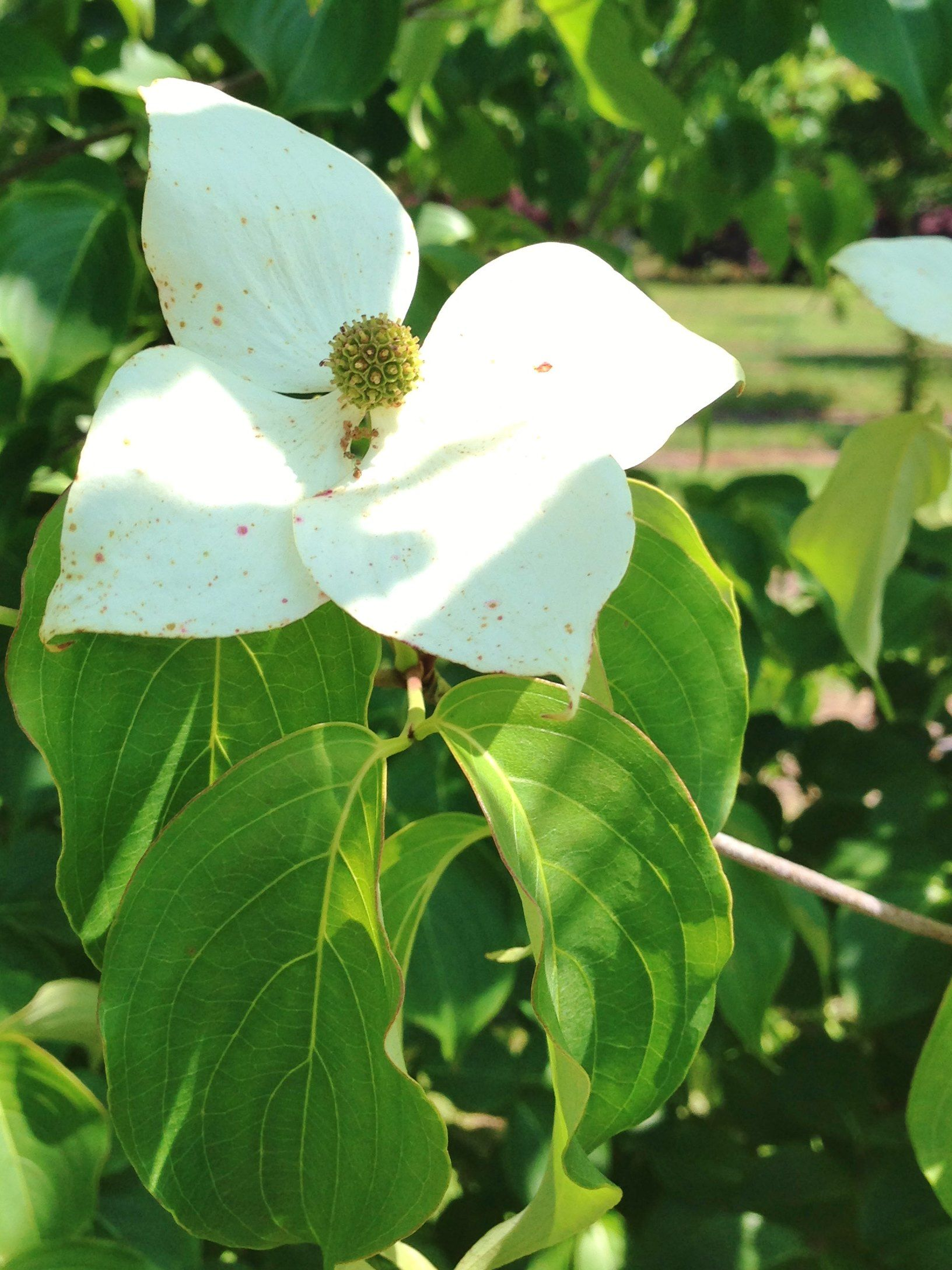 Kousa Dogwood Plant Leaves Spring Blooms Plants