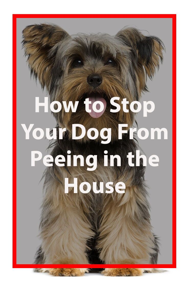My Dog Is Peeing Inside Dogs Peeing In House Dog Pee Dogs