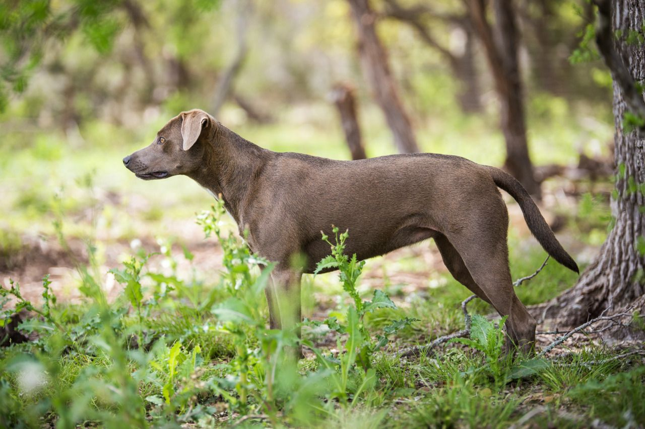 No. 4 St. James — The official State Dog Breed of Texas