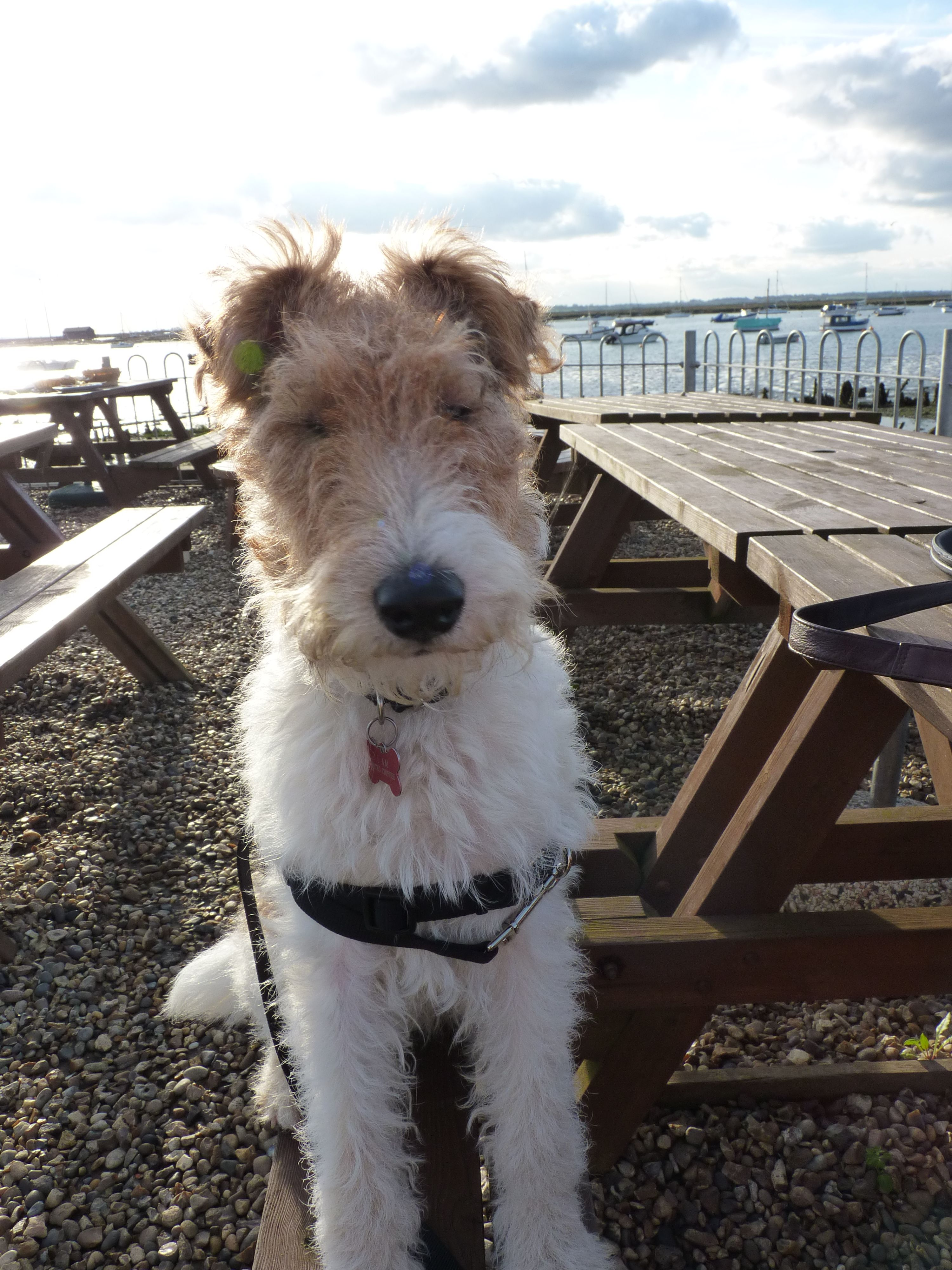 Oscar at the sea side | LOVE WIRE FOX TERRIERS | Pinterest