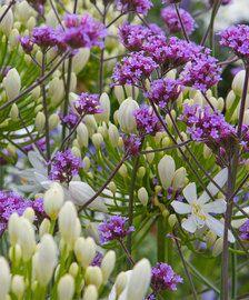 Voor meer informatie over Festuca 'Elijah Blue' ga naar online tuincentrum Bakker.com