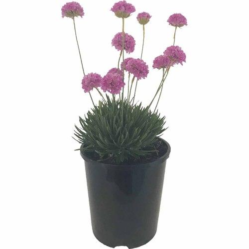 Armeria Pretty Petite 1.5 litre in 2020 Flower display