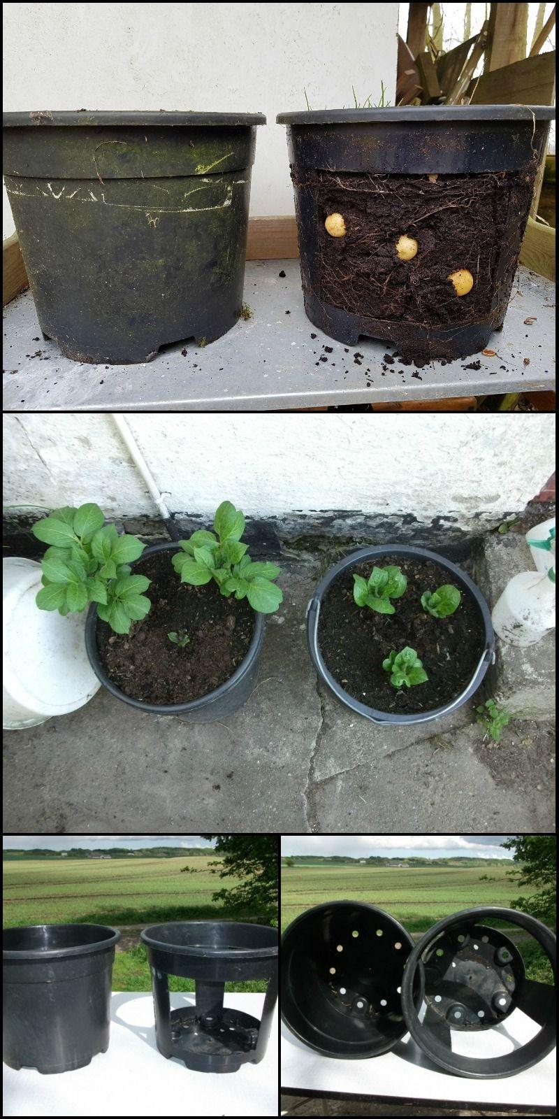 growing potatoes in buckets the no dig way potatoes growing