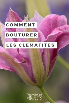 Bouturer Les Clematites Quand Et Comment Jardins Bouture Clematite Clematite