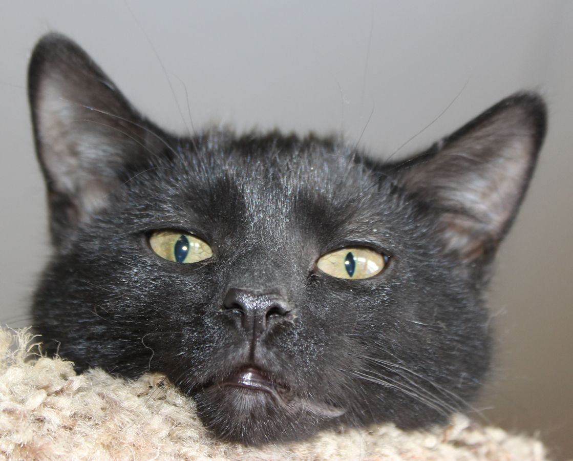 """ADOPTED! Maurice is a """"Bee Gee"""" kitten and a very sweet"""