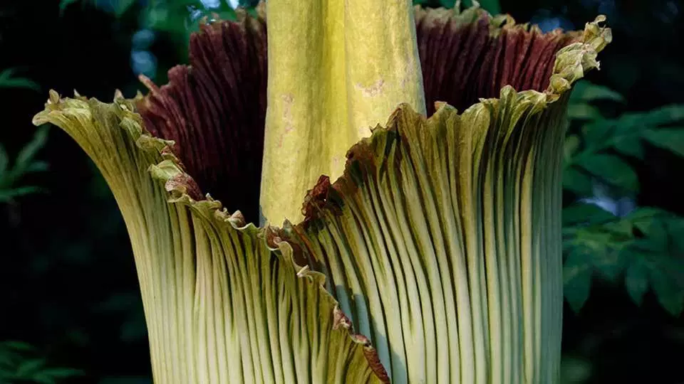 Cleveland Zoo Awaits Bloom Of Smelly Corpse Flower Corpse Flower Amorphophallus Titanum Rare Plants