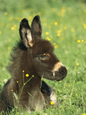 Donkey Equus Asinus Foal Resting In Field Of Flowers Germany Photographic Print By Konrad Wothe Sjove Dyrebilleder Aesler Og Dyr