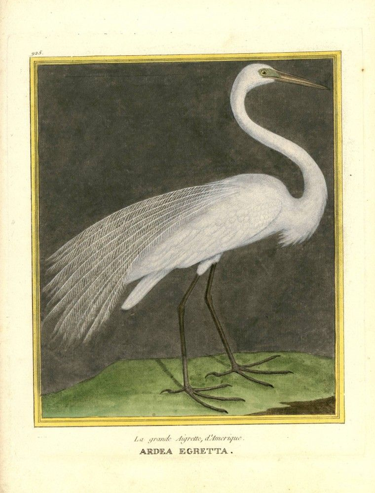 Animal - Bird - Martinet - Ardea egretta