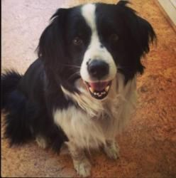 Adopt Calvin On Petfinder Spaniel Dog Dogs Border Collie Mix