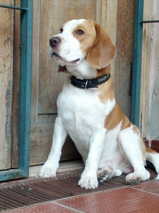 Lemon Beagle Looks Just Like Mine When She Was A Puppy