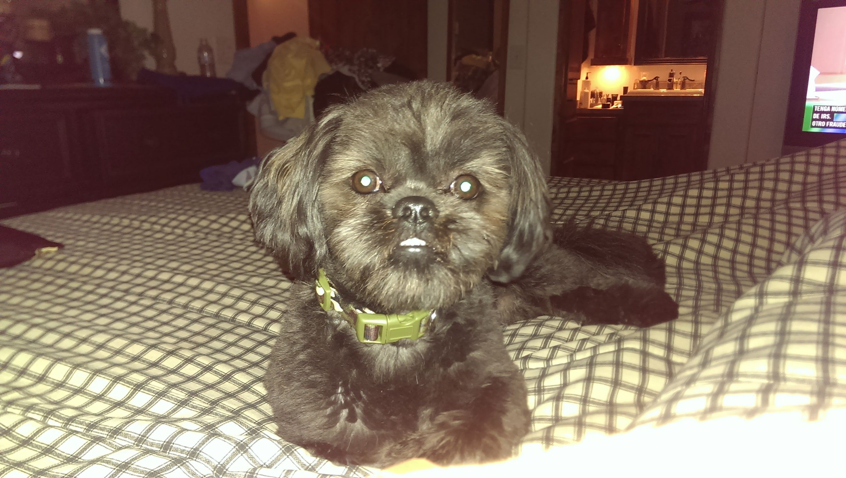 We Have Lost Our Dog Please Return If Found It S Name Is Bruno And It Is A Black Shih Tzu It Has A Black Spot On Its Black Shih Tzu