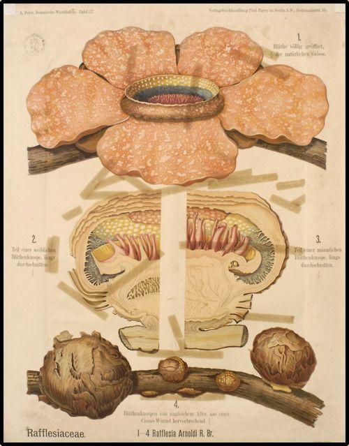 Rafflesia Arnoldi Corpse Flower Scientific Illustration Botanical Art Botanical Drawings
