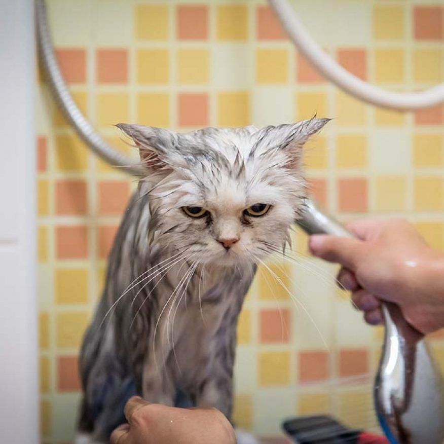 Cat Bathing 101 How To Give A Cat A Bath Cats Cat Care Cat Bath