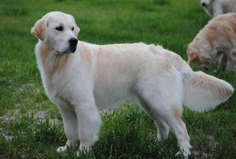 Autumn Lake Golden Retrievers Puppies For Sale Chesapeake Va