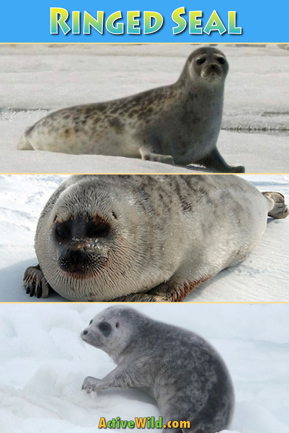 Ringed Seal Facts, Pictures & Information Discover A