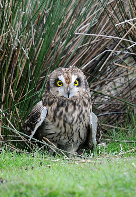 Amazing wildlife - Short-eared Owl photo #owls Wales, GB