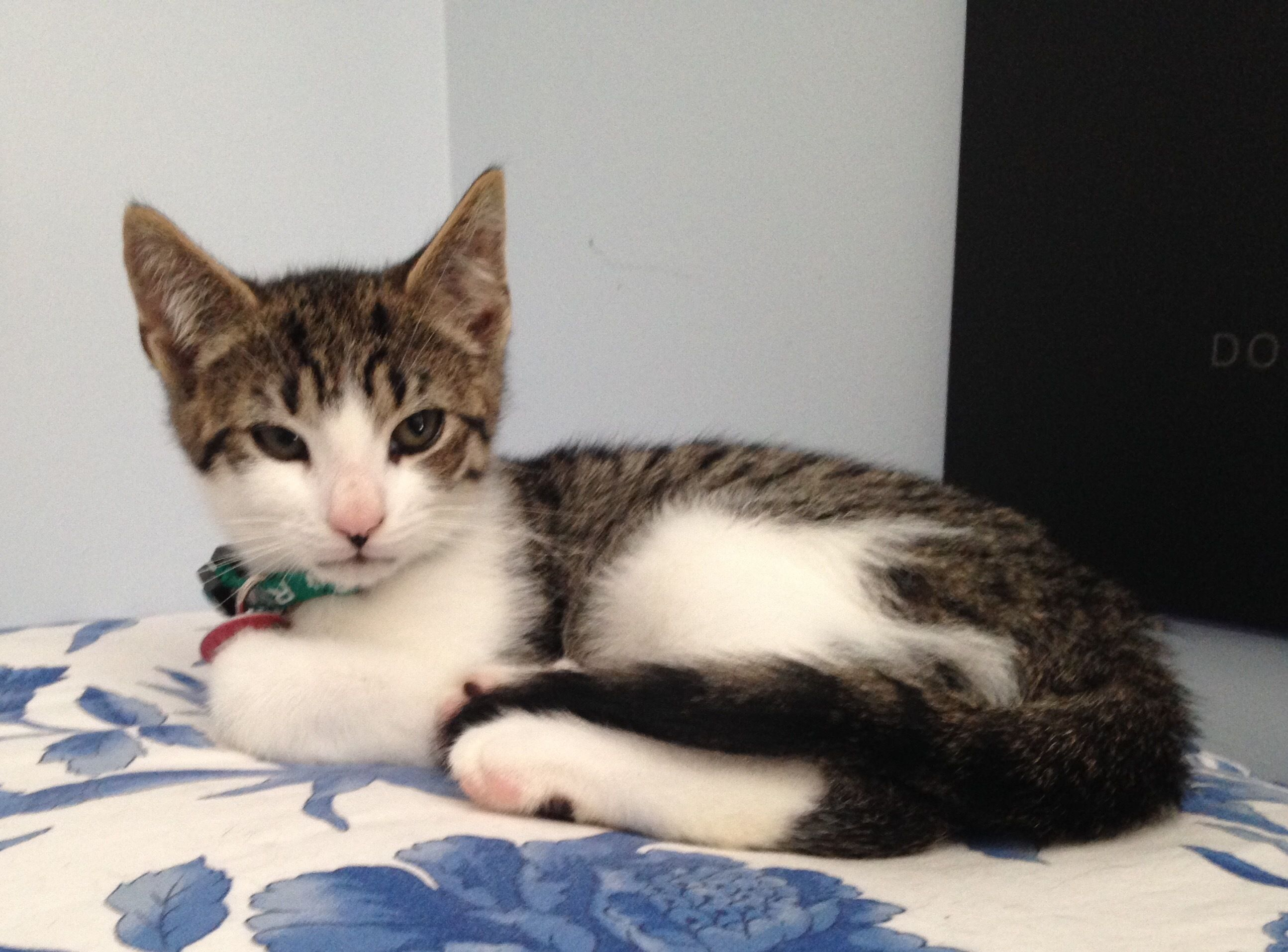 Adopt Orville on Tabby cat, Tabby cat pictures, Tabby